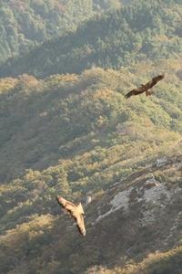 伊吹山山頂から見た景色にいたこの鳥は何ですか? イヌワシを撮られるカメラマンさんがたくさんおられる所ではなく、駐車場から登山道を歩いて上がった1番高い所あたりからです。ピントがボケていて、申し訳ないですが、わかる方がおられたら教えてください。