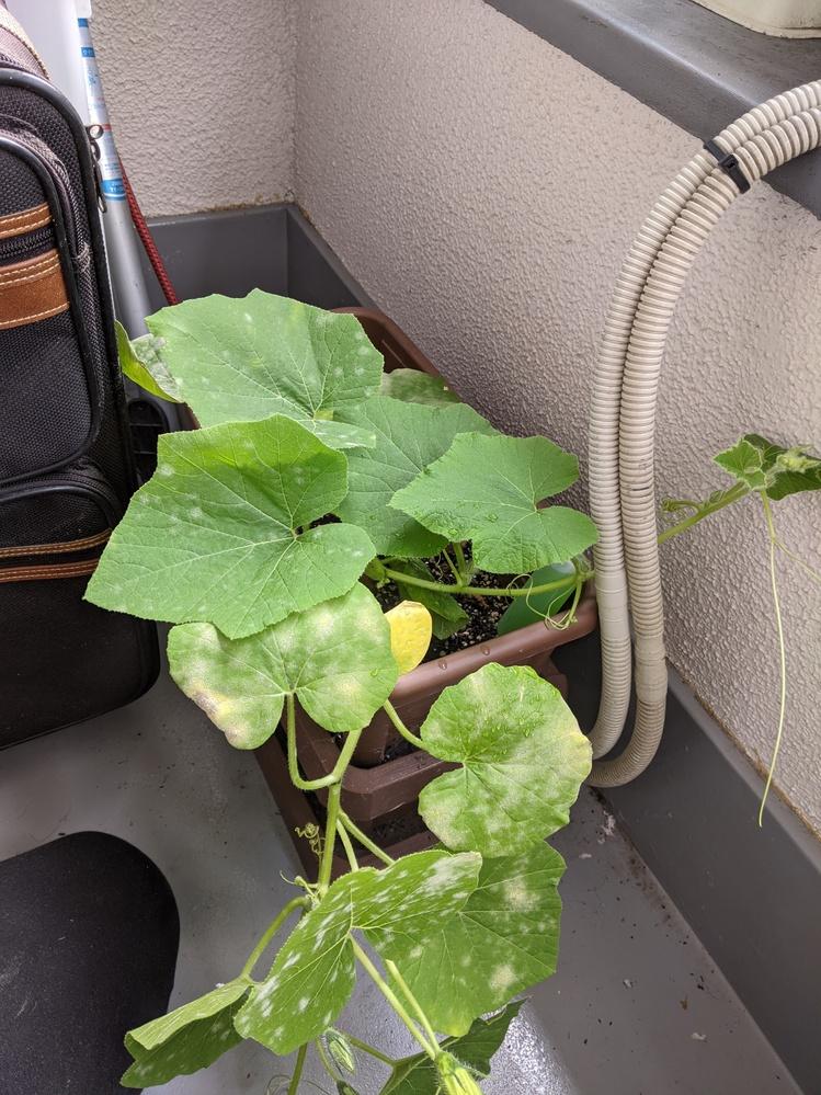 かぼちゃを植えたら葉が白くなってます。病気でしょうか?できたら、治療方も教えて下さい。