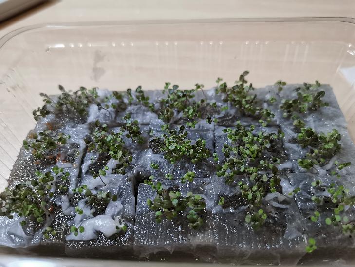 スポンジを使った水栽培のやり方ををYouTubeで見つけ、ペパーミントを育ててみました。種を植えてから約1ヶ月で、ここまで育ったのですが、間引きはしたほうが良いのでしょうか?また、葉の色が最初よ...