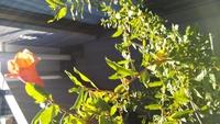 ベランダの植木鉢に3年前から、 植えてもない植物が育ってます 冬には根本から切りますが 夏には大きくなりとても気になります❗️名前わかる方いますか?教えて下さい。