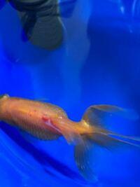 こんばんは。 金魚の背びれが赤く充血してて更に白っぽくなってきました。 何かの病気ですか?  また処置方法は塩浴で大丈夫でしょうか?