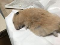 先程飼っていたキンクマハムスターが亡くなりました。おそらく擬似冬眠で、蘇生してるときの体力の消費が原因と思われます。 1年と半年の命でした。これまでもこのハムのほかに、2匹飼ったことがあって、1代目は...
