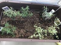 大きくて深めのプランターに、ローズマリーとタイムとラベンダーの苗を植えました。2週間前にローズマリー とタイムを植え、3日くらい前にラベンダーを追加で植えました。 今日見たら元気がないように思います。ラベンダーは葉が垂れ始め、タイムは葉が茶色になり、触るとポロポロ落ちます。ローズマリーは変わり無いようです。  場所はベランダで、土はハーブ用のものを使ってます。枯れてしまうのは悲しいので、何が...