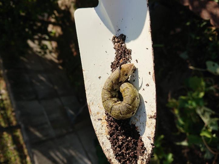 家庭菜園から出てきたこの芋虫、成虫になったら何になりますか?