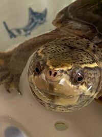 ペットのミシシッピニオイガメの鼻の横あたりが白くなっています。 成長の過程なら良いのですが、水カビなどではないか心配です。  原因がお分かりになられる方、教えて頂けると幸いです。  水はカルキ抜きしておりますが、カルキ抜きが足りない可能性はあります。
