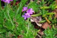 小さい花です。 葉は背が低く多肉植物のような感じでした。 何と言う植物でしょうか?