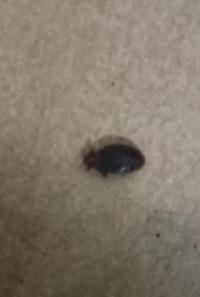 カーテンの虫  カーテンにこの虫が1部にびっしりいたのですが、 なんの虫かわかる方いますか? カーテンは熱湯で消毒して駆除はしましたが 虫の種類が気になります……