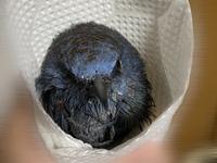 家族が倉庫のネズミ捕りにかかっていた鳥を保護しているのですが、種類がわかりません。 黒く艶があり、クチバシは細いです。 大きさは17cm程かと思います。 千葉県の下総あたりです。  まだ粘着剤が取りきれ...