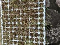 ネギ苗の育苗について教えてください。 一昨年よりトレイでネギ苗の育苗をしていますが、写真の様に毎年苗が黄色くなり消えていきます。 今年は水やりの量を若干少なくしましたが上手くいきません。 ダコニール1000を一度使用しました。 よろしくお願いします。