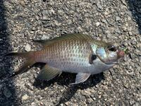 海釣りをしていてこの魚ばかり釣れるのですが、これは何の魚でしょうか? アプリではブルーギルとよくヒットします。