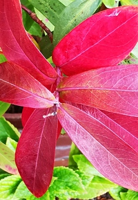 この植物名を教えてください。 葉の紅葉が素晴らしく!