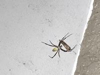 ジョロウグモが楕円形の物を数日前から抱えています。 玄関外のクモの巣でじっとしています。 ネットで調べたタマゴとは違うように見えますが、これもタマゴですか?  また、タマゴの場合どこかに移動させないとクモだらけになりますよね。 玄関ドアのすぐ外なので家に入ってきそうで嫌です。