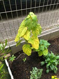 アナベルについてアドバイスをお願いします。 初めて今春から挿し木から育てています。 初夏に小さな花を2個咲かせました。 今の時期はこんな感じに葉が枯れてくるのでしょうか  また剪定まではこの状態のままで...