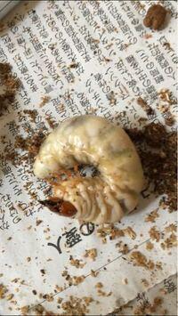 国産オオクワガタの、この幼虫の性別は何でしょうか?初心者なもので、すみません。孵化後4ヶ月18gです。