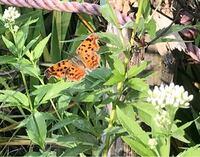 蝶の種類  写真の蝶について 種類が分かる方、ご教示ください。  本日福岡県で撮影したものです。 キタテハでしょうか。他の蝶でしょうか。裏翅は確認出来ていません。