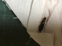 父親が家のトイレでこの虫を見つけたそうで、何か気になってます。 虫に詳しい方、教えて貰えないでしょうか? 体長は1.7センチほどです。