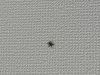 恐らくハエトリグモの一種だと思うのですが...虫恐怖症もあり少し心配なので写真を撮って質問させて頂きました。 どなたか詳しい名前をご存知でしょうか?  ※写真見えずらくてすいません......。