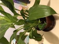 この葉っぱ 300均一で購入したのですがめちゃめちゃ生命力のある植物で そろそろ器も小さく窮屈なのでないかと思うほどに育ちが著しいので。 そこでご教授いただきたいのですが どんな土と部屋を用意すれば良...