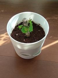 沖縄のお土産でハイビスカスの苗木を貰っので、水に浸して根出ししてから植え付けをしました。 最初は、葉も元気が良かったのですが、最近、写真のように葉がしなしなになってきてしまいました・・・。  ガーデニング初心者なので、どうして良いか分かりません。  アドバイスお願いします・・・!!!