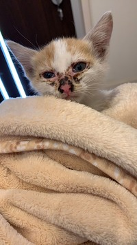 車のボンネットに子猫が入り込んでいて、出てきたら、目もあまり開かず、画像のようになっていました。 これは、病気でしょうか。
