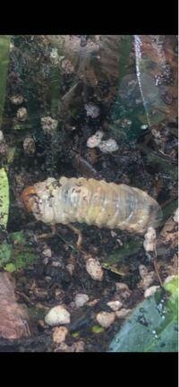 ベランダに置いてあるオリーブの鉢の中に、幼虫が住われてました。 こちらの幼虫はなんの虫ですか? 危険な虫(毒があるやつ)とかじゃなければそっとしとくのですが。  また植物に水やりもしないとですが、幼虫...
