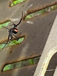 セアカゴケグモですよね? 過去に3年程前に一度見つけて殺虫したのですが、別の場所にまたいました。 他にもいる可能性ありますか?