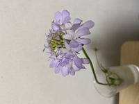花屋で花の名前を聞くの忘れてしまいました! シラーに似てますが、花弁の枚数とかがちょっとちがう…気がします わかる方いらっしゃいますか、?