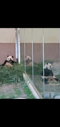 先日アドベンチャーワールドへ行きパンダを撮影しました。 この子たちは桜浜ちゃんと桃浜ちゃんですか? どちらがどちらでしょうか? お姉さんはどちらですか?