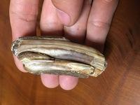 海で貝拾いしてたら化石? みたいなものを拾ったのですが、これはなんでしょうか。 哺乳類の骨にしては構造が違く、貝類にしては分厚する上、石灰藻類でくっついてしまっている様子もないです。    詳しく知っ...