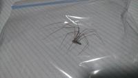 これ、何の蜘蛛でしょうか?  体長(足の長さは含めない)約1cmです。家の中を徘徊していました。
