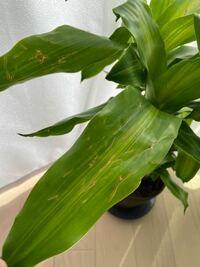 観葉植物(ドラセナ)について質問です。 1ヶ月ほど前から自宅で育てているドラセナの葉が傷ついています。おそらく3歳の子供の仕業だと思います…  傷がついてしまった葉はそのままでも大丈夫なのでしょうか? ...