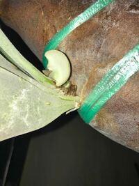 ビカクシダの栽培経験のある方に教えていただきたいです。トンクラというビカクシダを育てているのですが、貯水葉の下から胞子葉が出てきてしまった場合は胞子葉を潰してしまった方が良いでしょうか?