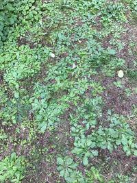庭の雑草です。 芝生だったのに、気付いたら雑草だらけです。 どうしたら雑草を退治して、また芝生を張れますか?