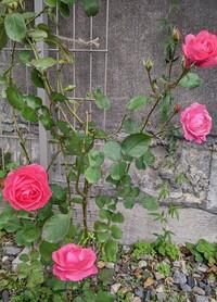 この薔薇、知ってますか? 職場の砂利庭に有るこの薔薇の名前も樹形もわからないんです。5年程前に植えましたが毎回黒星病で が落としてあんまり育って無いんです。今年は春からずっと黒星病の消毒して蕾をピンチして少しでも株が元気になるように頑張って来ました。 秋に蕾をピンチするのは辞めたらこんなにも花が咲きました。✌️ これからずっと大事に育てたいので、 名前がわかる方、教えてください。