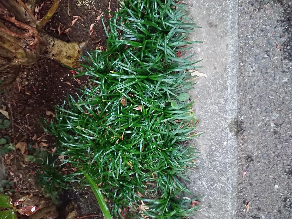 この草木の名前を教えてください。 常緑です。