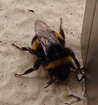 今朝ベランダにハチがいました。 弱っているようですが、まるまると可愛いなぁ…と思って見ていましたが、なんというハチなのでしょうか? 図鑑を見た感じではマルハナバチなのかな?と想像しております。  札幌市内です。 よろしくお願いいたします。