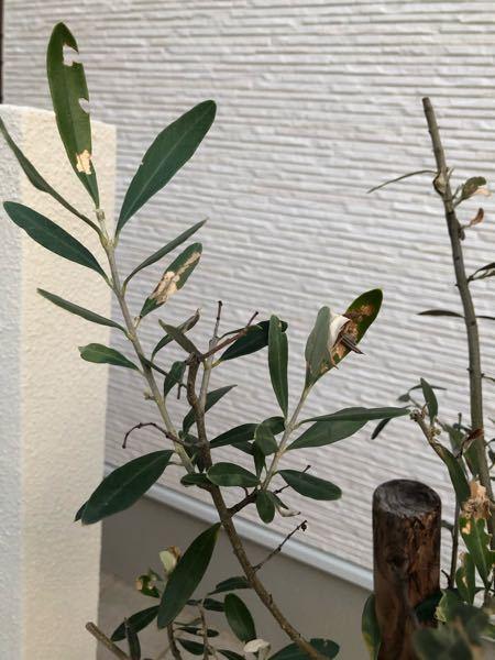 オリーブに詳しい方 玄関(北向き)に植えているオリーブの木が腐ってきました。水やりは5日に1回くらいやってますが、実が黒くグジュグジュになり葉は茶色くパラパラと落ちていってます。 原因が何かわか...