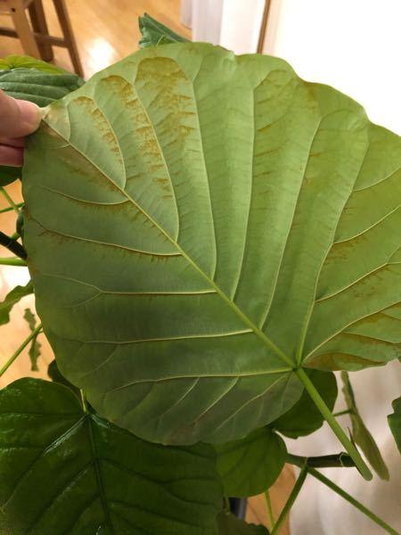 育てているウンベラータの葉の裏が茶色くなっているものが数枚あります。。 なにかの病気?虫?でしょうか? 調べても分からなかったので、もしわかる方いらっしゃいましたら教えて下さい!