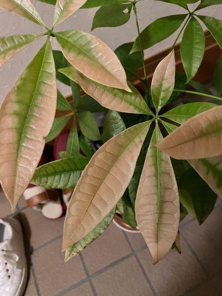 パキラの葉が、こんな感じで、最近白っぽくなってきました。同時に、全体的に元気が無さそうで、成長している様子などもありません。 こういった場合、どう対処すれば元気になりますか?
