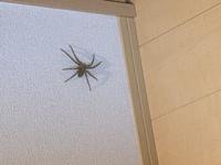蜘蛛の画像あり、閲覧注意! 家の中に大きい蜘蛛がいました。小さい蜘蛛は家の中で何度も見たことはありましたが、このサイズは初めてです。何とか捕まえて外に逃したかったのですが、躊躇している間に見えない所に逃げられてしまいました…… そこで質問ですが、この蜘蛛の種類は何という種類でしょうか。(毒とかないですよね?)それと、これくらいのサイズの蜘蛛を捕まえる良い方法はないでしょうか。