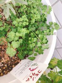 ハーブの寄せ植え4種類(イタリアンパセリ、ローズマリー、オレガノ、コモンタイム)を購入して育てていたのですが、 コモンタイムが枯れてしまいその隣に謎の芽が育ちました。これはなんでしょうか