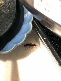 この虫なんですか!? 鍋をしたお玉の影にいて、写真を撮ろうとお皿を避けたら すごい速さで隙間に逃げてしまいました。。  背中に縦に白い線が入っていますが、 ゴキブリの幼虫は横に白い線みたいです。 縦に白...