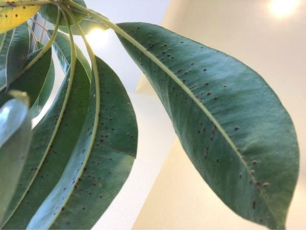パキラの葉の裏が写真のようにブツブツしてます。 ネットで調べてみたのですが、炭そ病というものなんでしょうか? この後の対処法が分かれば教えてください。