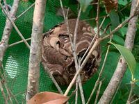 至急!!お願い致します!! これは、なんの巣ですか?(--;)  庭に大きい巣?を見つけて驚いて声を出してしまいました…  これが何かわかる方いらっしゃいますか?蜂の巣にしては、でこぼこが少ないというか…  模...