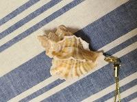 オホーツク海でとれたツブなのですが、なんという名前なのかわかりません。 貝類に詳しい方お願いいたします 全長5㎝くらいですがどのくらいまで大きくなるのでしょうか??