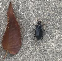 ゴキブリかと思いきや、触覚がある。これは何虫ですか?