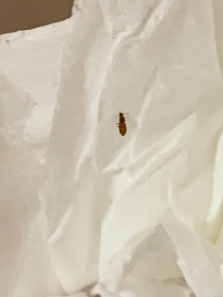 布団に着いていたんですけど、この虫はなんですか?