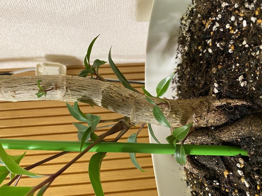 パキラの新芽について 会社で育てているパキラの根本から新芽が生えてきました。 できれば、揷し木等で増やしたいと考えているのですが、どの程度大きくなってから切るべきなのか、揷し木をするのに適した...