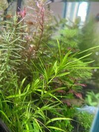 この水草の種類は何でしょうか? ヤマトヌマエビを買ったら付いてきました。