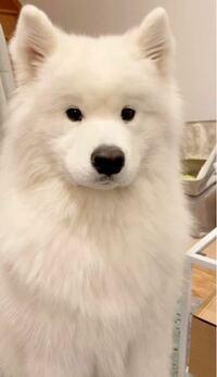 これってなんていう犬の種類ですか? (引用源 Instagram)